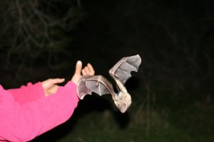Egyptian fruit bat sets out on a foraging run Courtesy of Prof. Ran Nathan
